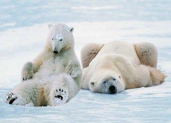 Postcard Tushita | Polar Bears