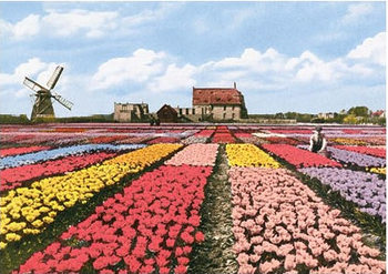 Postcard | Dutch Tulip Fields