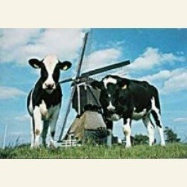 Postcard | Cow-Mill-Cow, Holland