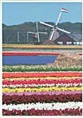 Postcard   Windmills & Tulips, Holland
