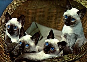Postcard | Siamese Cats