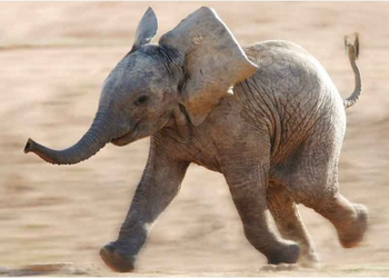 Postcard Tushita | Running home (Elephant)