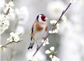 Postcard Tushita | Goldfinch