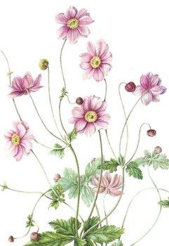 Museum Cards Postcard | Anemone hupehensis