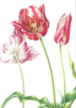 Museum Cards Postcard | Tulipa