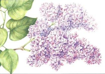 Museum Cards Postcard | Syringa vulgaris