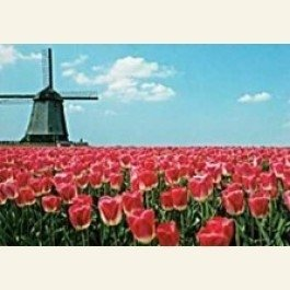Art Unlimited Postcard | Red tulips and windmill Holland