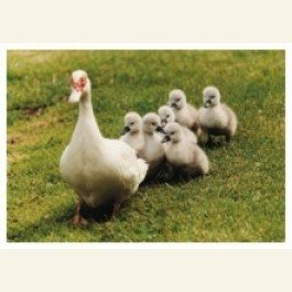 Art Unlimited Postcard | Victoria the Duck Fosters Ducklings