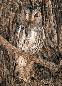 Postcard Tushita   Sops Owl