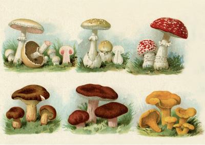 Postcard | Vintage Mushroom Illustration