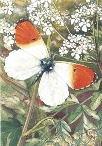 Museum Cards Postcard | Cow Parsley with Orange Tip, Henricus Rol